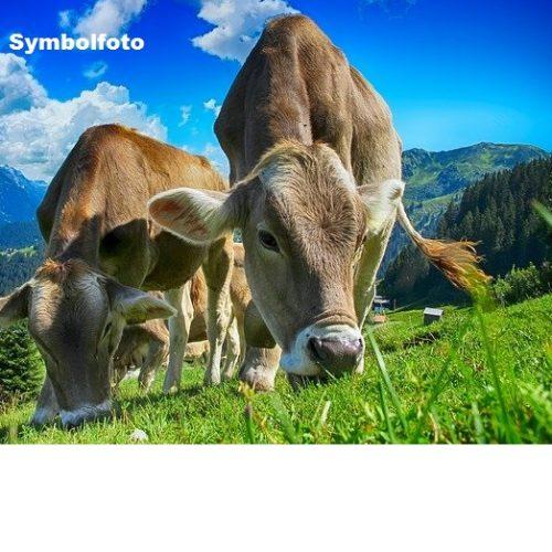 Kühe (Symbolfoto)